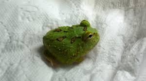 chomper pacman frog