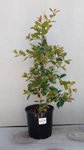 sweet viburnum 200mm pot viburnum plants archives gardenwize nursery