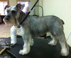 mini schnauzer haircut styles the 25 best schnauzer cut ideas on pinterest schnauzer grooming