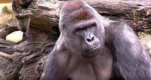 Gorilla Meme - cincinnati zoo not amused by harambe memes