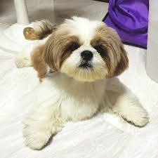 shih tzu haircuts 12 adorable shih tzus who will make your day better