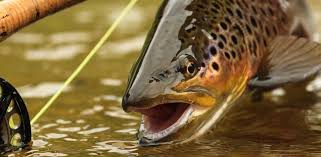 your home for all things fly fishing trout flies home decor gifts brown trout with fly rod
