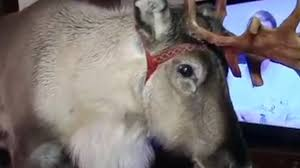reindeer pet u0027aatu u0027 lives with human family youtube