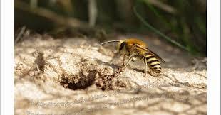 k che sp le les abeilles solitaires abeille du lierre ou de la callune 2014