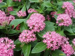 Pentas Flower Online Plant Guide Pentas Lanceolata U0027venus Salmon U0027 Venus