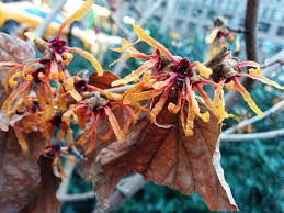 native north american plants flora feature witch hazels madison square park conservancy