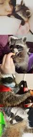 282 best raccoon cuteness images on pinterest racoon adorable
