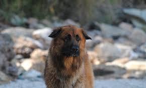 belgian sheepdog poodle mix meet orfeas the german shepherd mix on pack