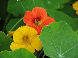 cuisiner les fleurs les fleurs comestibles et plantes sauvages à mettre dans l assiette