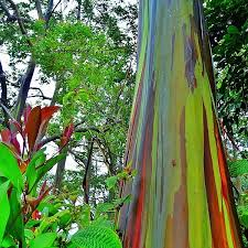 Rainbow Eucalyptus Good Morning Peeps Rainbow Eucalyptus Photograph By Raffaele Salera