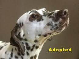 dalmatian rescue north texas