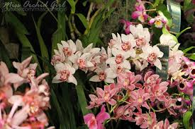 cymbidium orchids cymbidium orchids care sheet orchid nature