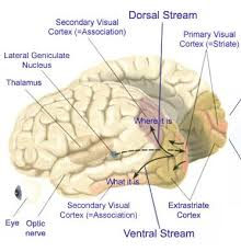 Anterior Association Area Brainmind Com