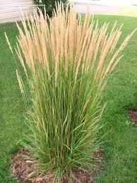 ornamental grasses calamagrostis and miscanthus