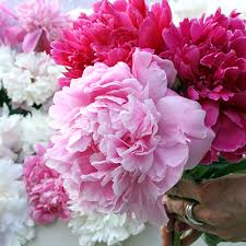 Peony Flowers Shop Peonies Peony Catalog Herbaceous Peonies Intersectional