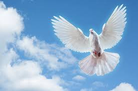 royalty free dove flying pictures images and stock photos istock
