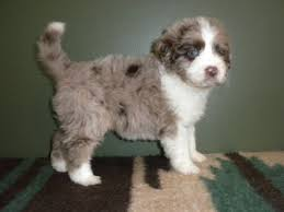 australian shepherd eye diseases aussiedoodle australian shepherd and poodle mix spockthedog com