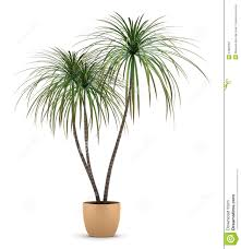 dracaena plant in pot isolated on white royalty free stock