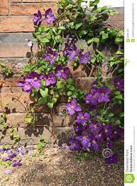 beutiful violet clematis royalty free stock photography image