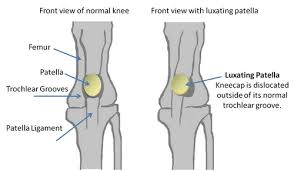 Dog Anatomy Front Leg Luxating Patella In Dogs Symptoms Diagnosis U0026 Treatments
