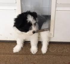 american eskimo dog vector american eskimo dog havanese mix puppy for sale in deer park tx