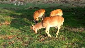 deer grass near a tree deer reindeer graze on the