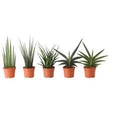 Yucca Wohnzimmer Sansevieria Pflanze Ikea