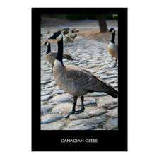 canadian geese gifts on zazzle