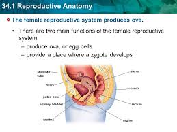 Anatomy Of Reproductive System Female The Female Reproductive System Produces Ova Ppt Download