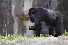 Gorilla by Gorilla Feeding Habitat 1 Zoo Atlanta