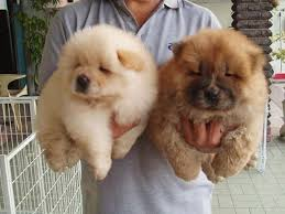 28 adorable dogs that actually look like tiny teddy bears blazepress