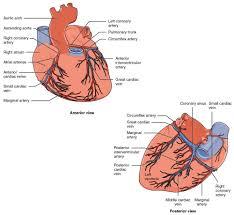 Heart Anatomy Arteries 4 2 2 Heart Anatomy