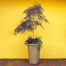 12 best gardening japanese maples in garden containers pas