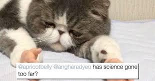 Persian Cat Meme - i can has cheezburger persian cat room guardian funny
