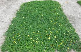 australian native ground cover plants crop promising as ecologically friendly ornamental groundcover