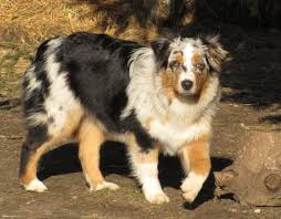 3 month australian shepherd faithwalk aussies growing up aussie