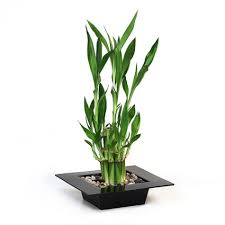 plant for office bamboo plant