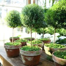 decorating myrtle topiaries for enchanting garden plant ideas