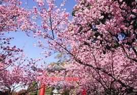 Auburn Botanical Garden Cherry Blossom Festival At Auburn Botanic Gardens Broadsheet