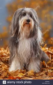 bearded collie brown bearded collie 12 years old autumn foliage stock photo royalty