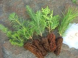 trees only 1 25 evergreen memories tree seedlings and seed