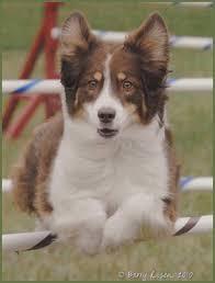 australian shepherd iq iq agility club