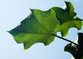 cara mengolah daun jarak untuk memperbesar alat vital pria alami