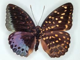 drexel snapshot butterfly is half half drexel
