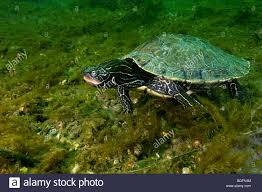 Texas Map Turtle Map Turtle Stock Photos U0026 Map Turtle Stock Images Alamy