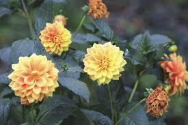 facts on dahlia flower seeds u2013 how to plant dahlia seeds