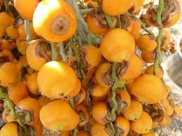 Palm Trees Fruit - 159 best beetles palm trees acid images on pinterest palm trees
