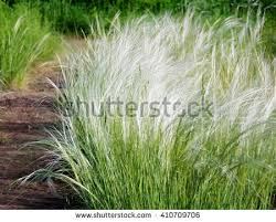 needle grass stock images royalty free images vectors