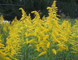 ga native plant society goldenrod good for gardens using georgia u0027s native plants