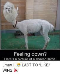 Llama Meme - 25 best memes about shaved llama shaved llama memes